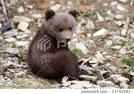 Brown bear cub 33742681