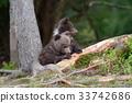 หมี,สัตว์,สัตว์ต่างๆ 33742686