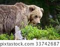 หมี,สัตว์,สัตว์ต่างๆ 33742687