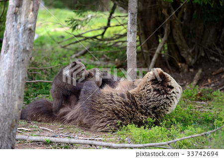 Brown bear and cub 33742694