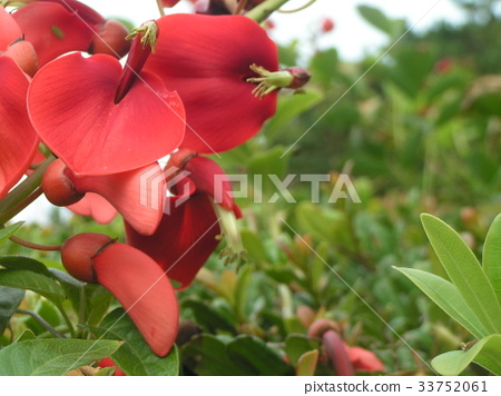 cockspur coral tree, flower, red 33752061