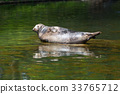 Seal resting on the rock 33765712