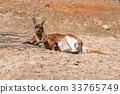 Kangaroo lying down on the ground 33765749