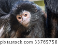 The lutung monkey portrait 33765758