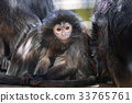 The lutung monkey portrait 33765761