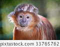 The lutung monkey portrait 33765762