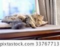 可愛的貓咪 33767713