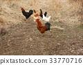 가축, 닭, 동물 33770716