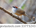 Chestnut-capped Babbler Beautiful Bird of Thailand 33773243