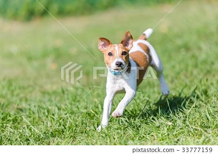 傑克羅素梗犬 33777159