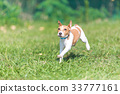 잭러셀테리어, 개, 강아지 33777161