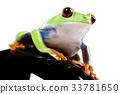 Tree frog 33781650