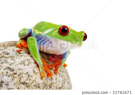 Tree frog 33781671