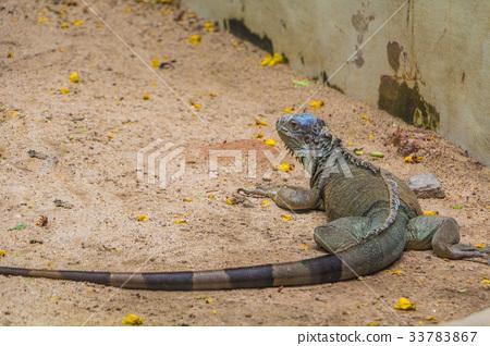 Green Iguana 33783867