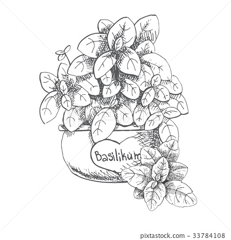 Basil in a pot. Fresh basil isolated on background 33784108
