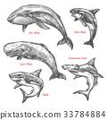 鲨鱼 鲸鱼 鱼 33784884