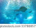 Sea stingray and marine life. A marine aquarium 33786857