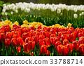 Blooming tulips flowerbed in Keukenhof flower 33788714