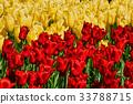 Blooming tulips flowerbed in Keukenhof flower 33788715