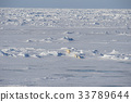 Polar bears walking on the ice. 33789644