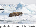 Walrus on ice flow 33789647