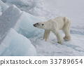 Polar bear walking on the ice. 33789654