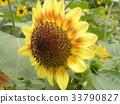 红 黄色 一年生植物 33790827
