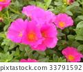 马齿苋 粉色 花朵 33791592