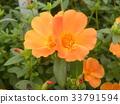 马齿苋 花朵 花卉 33791594