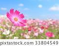 코스모스 밭과 푸른 하늘 33804549