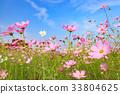 코스모스 밭과 푸른 하늘 33804625