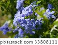 白花丹屬 藍雪花 藍色石墨 33808111