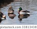 couple duck water 33813438