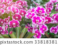 Purple orchids tree in wild tropical forest 33818381