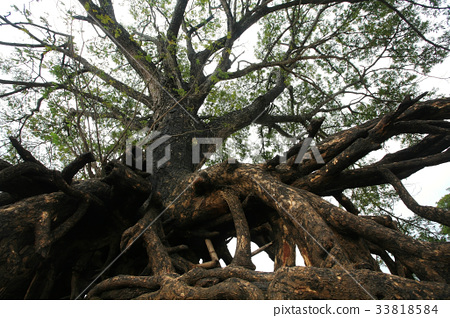 Giant tree root in Ubon Ratchathani 33818584