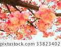 double-flowered cherry tree, cherry blossom, cherry tree 33823402