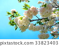 double-flowered cherry tree, cherry blossom, cherry tree 33823403