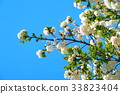 double-flowered cherry tree, cherry blossom, cherry tree 33823404