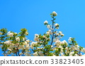 double-flowered cherry tree, cherry blossom, cherry tree 33823405