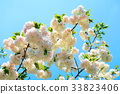 double-flowered cherry tree, cherry blossom, cherry tree 33823406