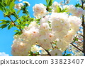 double-flowered cherry tree, cherry blossom, cherry tree 33823407