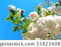 double-flowered cherry tree, cherry blossom, cherry tree 33823408