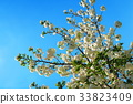 double-flowered cherry tree, cherry blossom, cherry tree 33823409