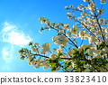 double-flowered cherry tree, cherry blossom, cherry tree 33823410