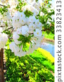 double-flowered cherry tree, cherry blossom, cherry tree 33823413