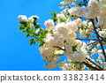 double-flowered cherry tree, cherry blossom, cherry tree 33823414