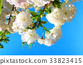 double-flowered cherry tree, cherry blossom, cherry tree 33823415