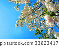 double-flowered cherry tree, cherry blossom, cherry tree 33823417