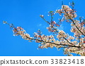 double-flowered cherry tree, cherry blossom, cherry tree 33823418