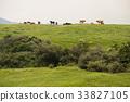 animal, animals, cow 33827105